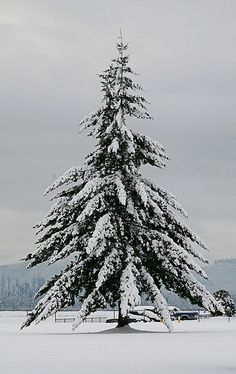 Wistfully Country, justcallmegrace: oh tannenbaum