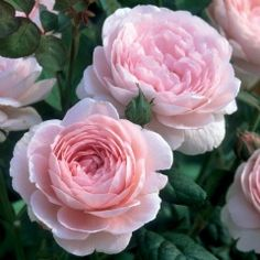 "David Austin Roses~ ""Queen of Sweden"" -bushy hedge, covered with medium sized upright facing blooms. The color is the softest glowing pink with hints of apricot. There is a light myrrh fragrance."