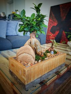 Pot belly/Ginseng fig in a home made wood and concrete pot