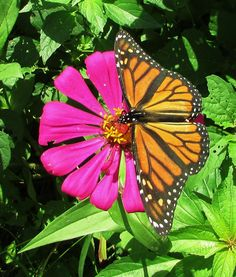 This perfect monarch settled down on one of my zinnias and made for a perfect…