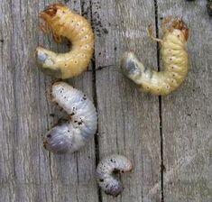 Comparaison des larves de hanneton en haut et de cétoine dorée en bas