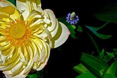 Sacred Lotus in Bloom