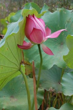 So fascinating 💟💟💟 Most Beautiful Flowers, Exotic Flowers, Tropical Flowers, Pretty Flowers, Purple Flowers, Lotus Flowers, Lotus Garden, Lotus Plant, My Flower