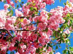 cherryblossoms - Google Search