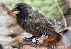 A population of finches on the Galapagos is discovered in the process of becoming a new species.