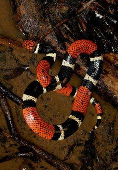 Aquatic Coral Snake