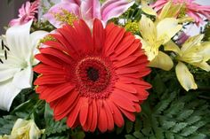 gerbera flower - Compare Price Before You Buy Gerbera Jamesonii, Flower Pictures, Free Photos, Daisy, Greeting Cards, Tropical, Flowers, Plants, Red