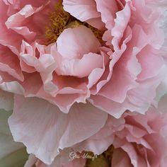 Isla´s — peeblespair: (via Pin by Judith Peacock on. Shabby Flowers, Large Flowers, Pink Flowers, Peony Flower, Flower Art, Parc Floral, Blog Art, Peony Painting, Flower Close Up