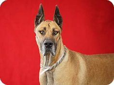 ADOPT THEM BOTH. KEEP THE FAMILY TOGETHER!  Pasadena, CA - Great Dane Mix. Meet TORO, a dog for adoption. http://www.adoptapet.com/pet/15798460-pasadena-california-great-dane-mix