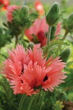 Salmon colour Fringed Oriental Poppy.