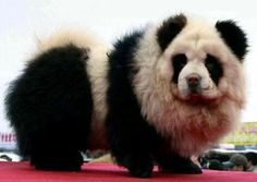 Panda dog - a dyed chow poodle mix