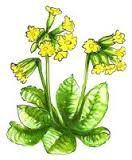 Výsledek obrázku pro kreslený petrklíč Plants, Planters, Plant, Planting