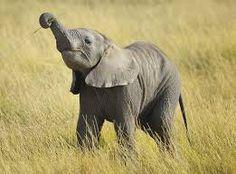 Αποτέλεσμα εικόνας για elephant