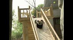 @Mia Reason  Pandas playing on a slide!!  Cuteness overload!!!!!