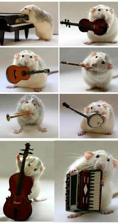 More Music Stuff  The musician rat    this is no photoshopped image,that is a real rat playing real musical instruments,with food treat,Dutch photographer and artist Ellen Van Deelen taught her pet Moppy and Witz to pose with different stuffs such as guitar,piano,flute,bike etc  according to her,her pets are very intelligent and understand her enough to pose for these outstanding photographs