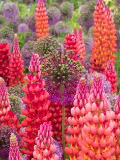 Lupine 'Beefeater' and Alliums
