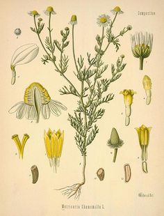 1000 Images About Herb Botanical Prints And
