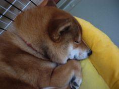 Akita Dog, Cool Pets, Shiba Inu, Doggies, Corgi, Puppies, Boys, Cute, Animals