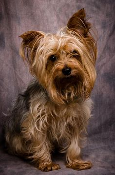BUSTER BROWN is an adoptable Yorkshire Terrier Yorkie searching for a forever family near Anna, IL. Use Petfinder to find adoptable pets in your area.