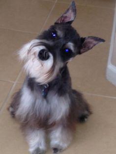 Jagger. Love when he tilts his head! Schnauzers are just as cute grown  up as they are as puppies.
