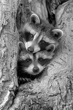 Animals Photo: Racoons