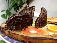 photo by:Lucy tomforde  butterflies at the key west florida butterfly conservatory.