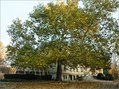 One of my most favorite trees. In Toalmas, Hungary. Heart Of Europe, Most Favorite, Hungary, Budapest, Dolores Park, Trees, Magic, Spaces, Country