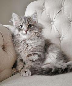 Siberian Forest Cat, Siberian Cat, Cute Cats And Kittens, Kittens Cutest, Pretty Animals, Cute Animals, Gatos Cats, Norwegian Forest Cat, Grey Cats