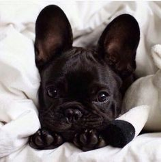 "The French Bulldog Is So Famous, But Why? - Doggie Woof-The French Bulldog Is So Famous, But Why? – Doggie Woof Discover additional info on ""french bulldog puppies"". Look into our web site. Cute Puppies, Cute Dogs, Dogs And Puppies, Doggies, Terrier Puppies, Corgi Puppies, Funny Dogs, Chihuahua, Animals And Pets"