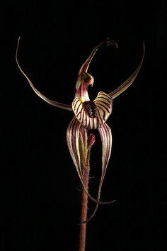 Caladenia wanosa | por Michael_Whitehead