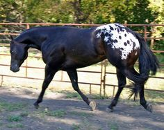 Apoloosa my favorite horses Horses And Dogs, Cute Horses, Horse Love, Animals And Pets, Majestic Horse, Majestic Animals, Most Beautiful Animals, Beautiful Horses, Zebras