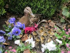 Funny Animal Family | Cute Duckie Family - Return to Funny Animal Pictures Home Page