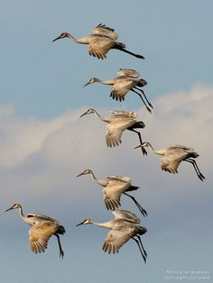Sandhill cranes are one of the many species that are impacted by tar sands development. Photo by Myrna Erler Bradshaw.