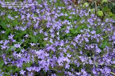 Campanula poscharskyana Blue Waterfall - perfect for spilling over a retaining wall and hardy to zone 3!