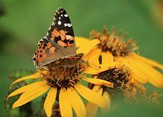 Kuvia neljästä vuodenajasta: Elokuu Butterflies, Insects, Bee, Flowers, Animals, Honey Bees, Animales, Animaux, Butterfly
