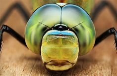 A detailed photo of an Anax imperator, dragonfly by Dusan Beno/Solent News
