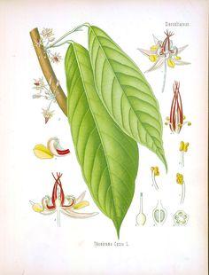 #Chocolate (Theobroma Cacao) Botanical Illustration.  From Koehler's Medizinal Pflanze (1887)