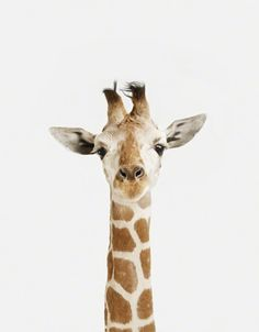 Giraffe Close-up - The Anima l Print Shop - Sharon Montrose - Animal Photos - Wildlife Photography - Limited Edition Prints - Wall Decor -Gift Ideas - Unique Gifts - Modern Art - Affordable Art ($20-50) - Svpply