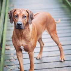 EDITOR'S PICK! Koda the Rhodesian Ridgeback by Elin Nylander: http://ift.tt/1PZk1CK. (IG: @zeiq)   I just had a dream about flying half-way across the world and meeting our adorable friend Koda!! The dream was so vivid...so memorable...just like this gorgeous Editor's Pick!   #rhodesianridgeback #rhodesianridgebacks #rhodesianridgebacksofinstagram #rhodesianridgebacklove #rhodesianridgebacklife #rhodesianridgebackofinstagram #rhodesianridgebackworld by bestofpack