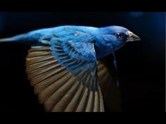The Messenger (a documentary) is a visually thrilling ode to the beauty and importance of the imperiled songbird, and what it means to all of us on both a global and human level if we lose them