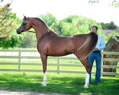 Mission WR :: Argent Farms LLC :: Distinctive Arabian Horses