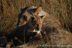 Will Fortescue Photography Lion cabs