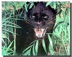 Amazon.com: Black Panther (Jaguar, Big Cat) Wild Animal Wall Decor ...