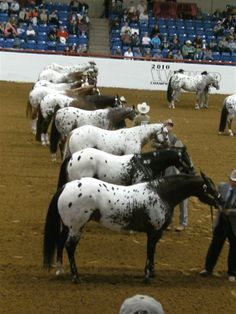 Appaloosas in line-up