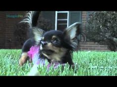BeeBee the Chihuahua -- Almost as cute as goose.