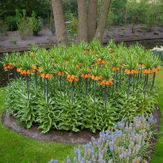 Fritillaria Bulbs - Orange Buy Flowers, Fall Flowers, Graceland, Orange Blossom, Spring Garden, Perennials, Bulbs, Backyard, Plants