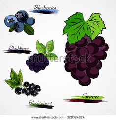 Set of hand drawn vector ripe whole fruits, blueberry, blackberry, grapes and back currant on light background  - stock vector