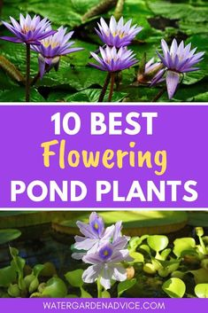 Flowering pond plants help to beautify a garden pond. Here are 10 easy to grow flowering plants for your pond. Water Plants For Ponds, Water Garden Plants, Pond Plants, Aquatic Plants, Flowering Plants, Indoor Plants, Patio Pond, Pond Landscaping, Ponds Backyard
