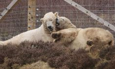 First polar bear cub born in the UK for 25 years at Scottish park  - January 3, 2018.  Parents of the new polar bear cub, Arktos and Victoria at the Highland wildlife Park. Images are not yet available of the cub as any disturbance could cause the mother to abandon her cub.