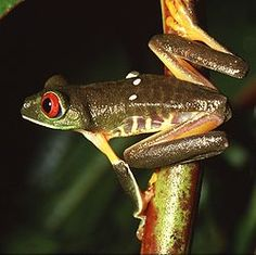 "Family: Hylidae, Order: Anura; family of frogs referred to as ""tree frogs and their allies""; include a diversity of frog species; can lay eggs in potholes and other temporary ponds"